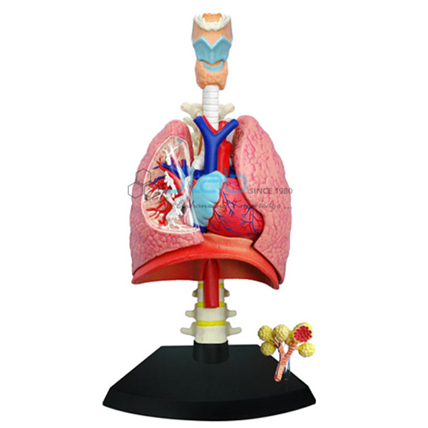 Heart and Lungs Model