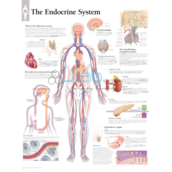 Endocrine system chart jlab ccuart Gallery
