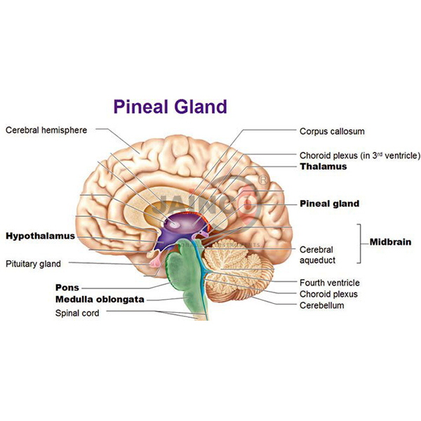 Bio Pineal Gland Model