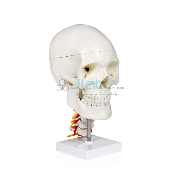 Human Skull With Cervical Spine Jlab