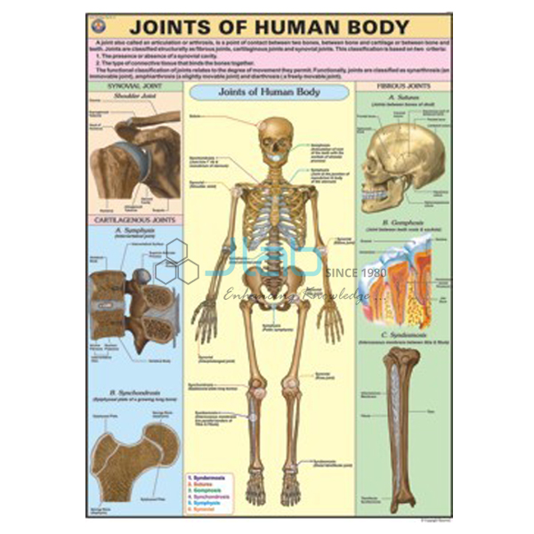 Joints of Human Body Chart JLab