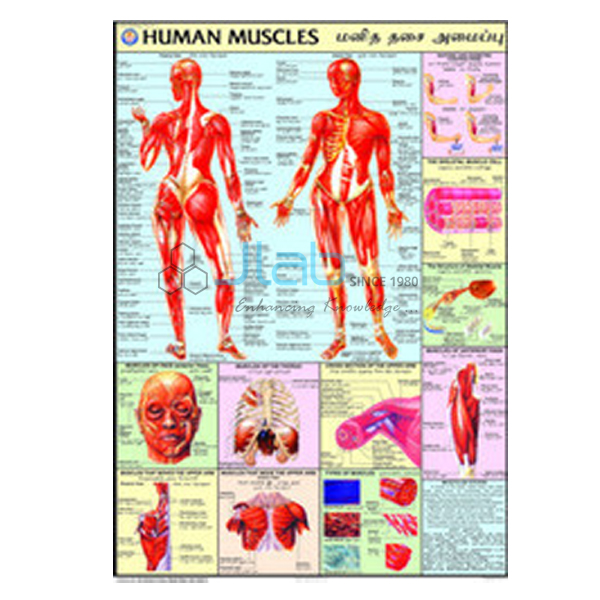 Human Muscles Chart Antaexpocoaching