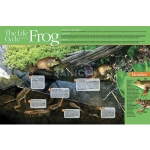 Life cycle of a Frog Poster